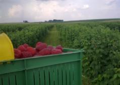Рентабельность выращивания малины как бизнеса