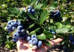 Выращивание садовой голубики как бизнес