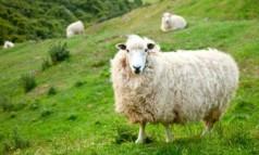 Выгодно или нет разведение овец как бизнес?