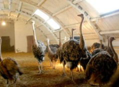 Разведение страусов как бизнес