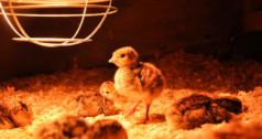 Выращивание цыплят как бизнес