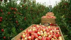 Выращивание яблок как бизнес