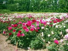 Выращивание пионов как бизнес